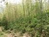 Wild tea bushes