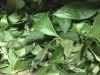 Baozhong fresh leaves