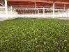 Zavadání čajových listů