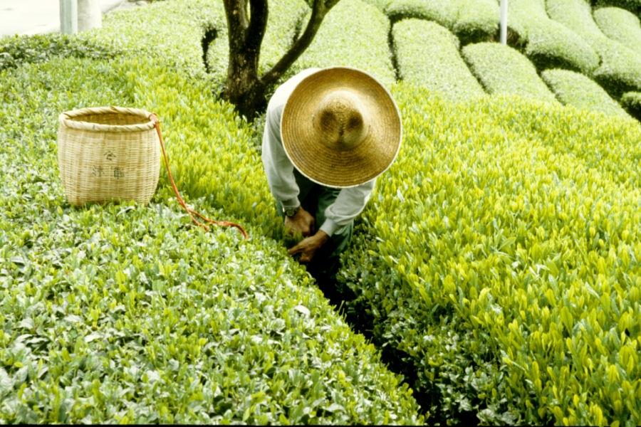 tea-picking-in-shizuoka-23