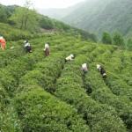 Jarní sklizeň čaje v Jižní Koreji