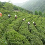 Spring tea flush in South Korea