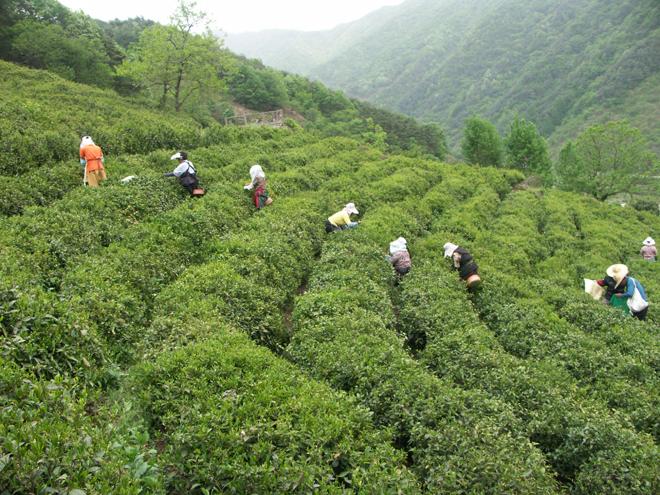 Hadong Tea Gardens