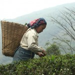 Autumnal Flush in Darjeeling 2011