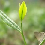 Darjeeling tea gets PGI declaration