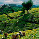 Ceylon Tea picking