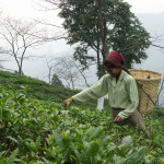 Tea Picker, Jungapana