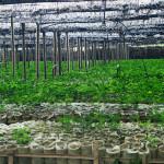 Assam Tea Fields