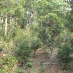 Tea trees in Jing Mai, Yunnan