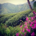 Čajová plantáž na Taiwanu