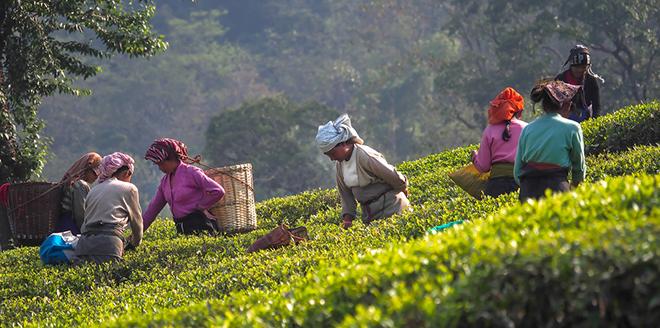 První sběr v Darjeelingu