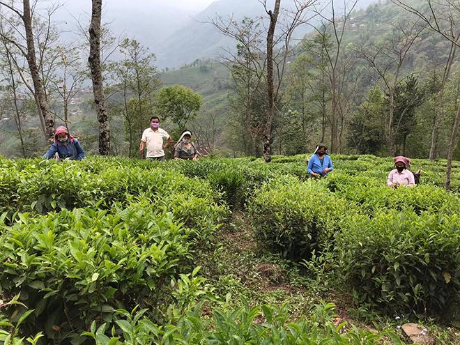 tea garden Namring