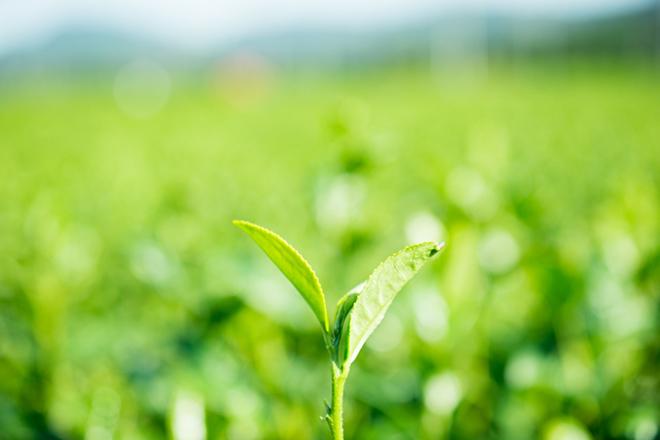 Japonský zelený čaj